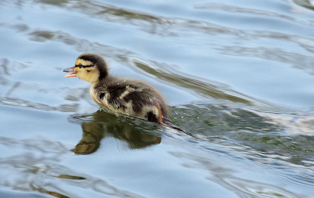 *Maaaamiii!!* - Speedy Duck