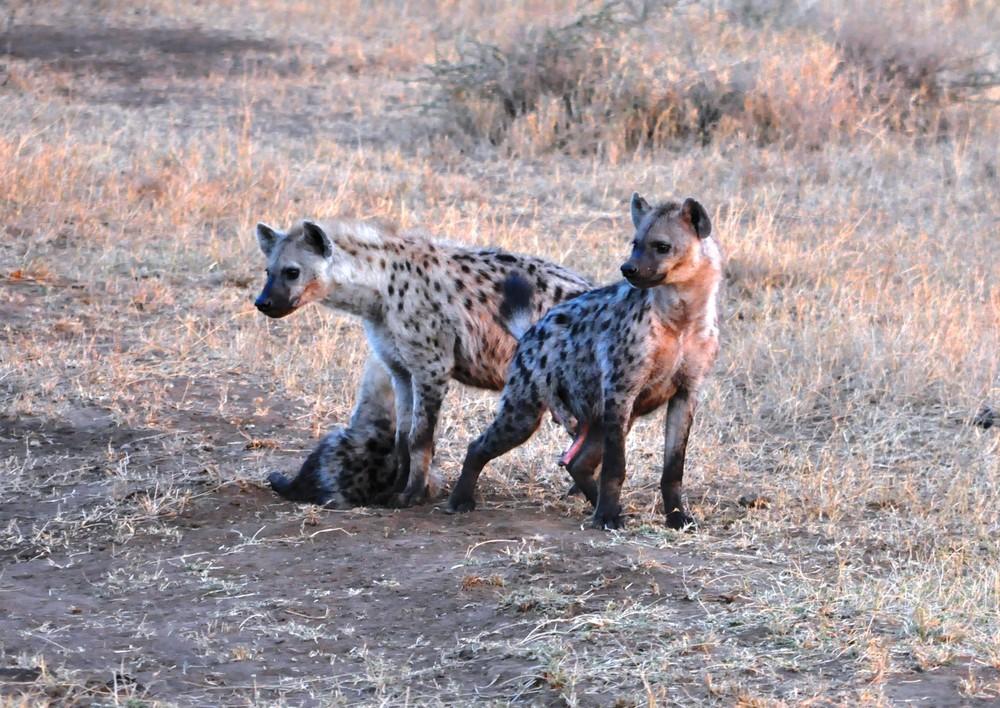 Maasai Hyena Family (spotted hyena)