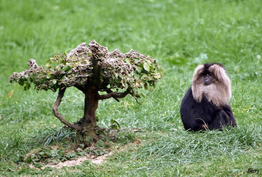 Macaque Ounderon