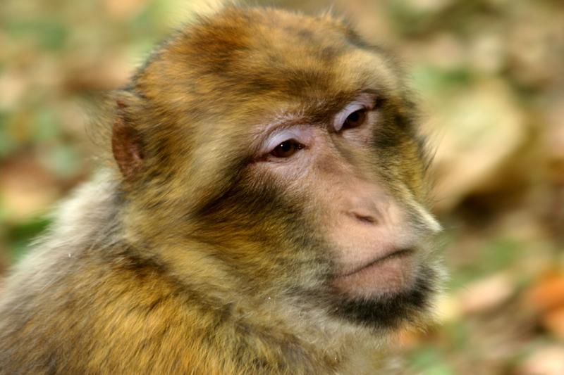 Macaque triste