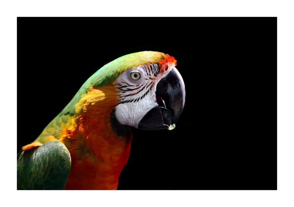macaw_2