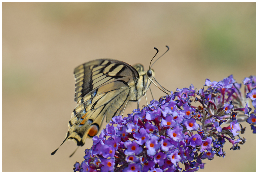 Machaon (3)