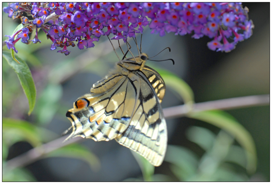 Machaon (4)