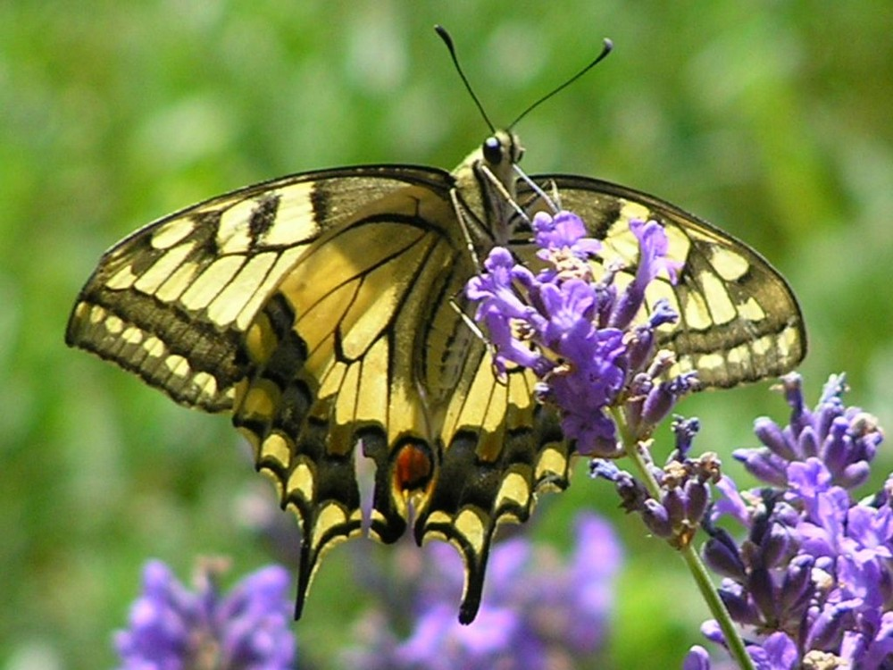 "Machaon ""Chanceux"""