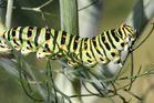 Machaon grand porte-queue en devenir