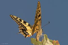 Machaon in the blue sky