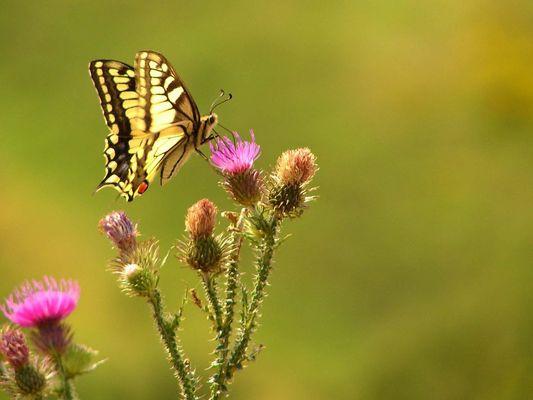Machaon (Papilio machaon)