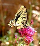 Machaon - papillon de mon jardin Auriol 13
