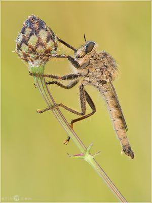 Machimus rusticus (Raubfliege)