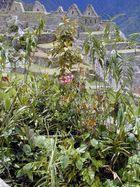 Machu Picchu, Flora