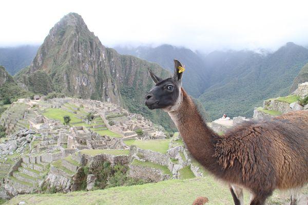 Machu Picchu mit Lama in Peru