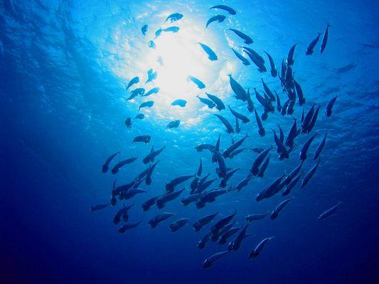 Mackerels in the Blue