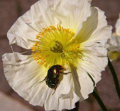 macro 2 de scarabèe