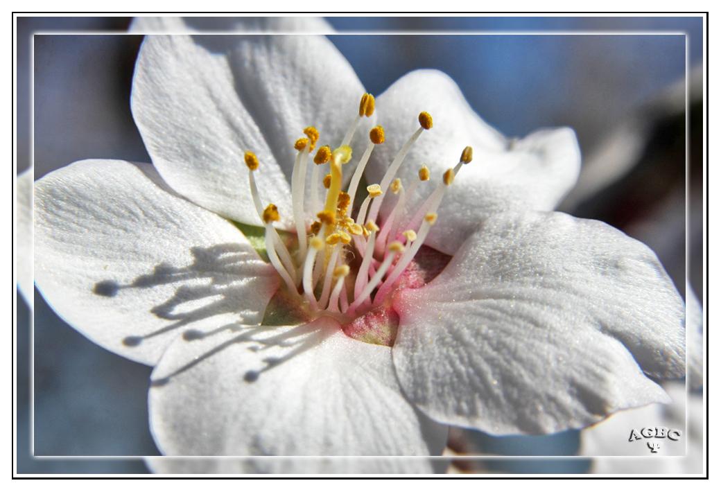 Macro de una flor de Almendro