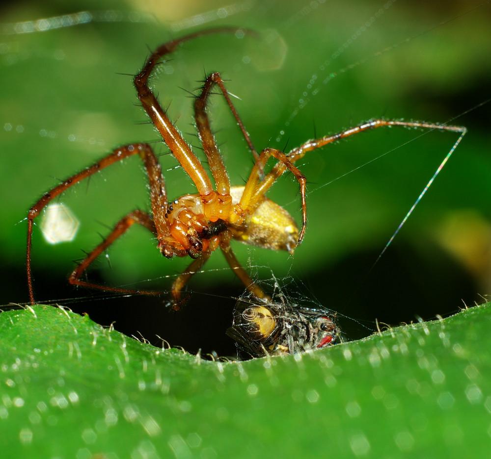 """Macro d'une araignée """"ligotant"""" sa proie"""