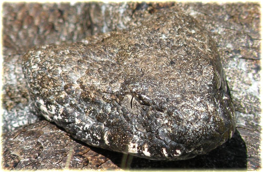 Macrovipera schweizeri (Milos-Otter)