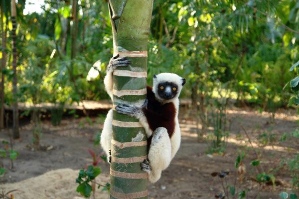 Madagascar's Sifaka