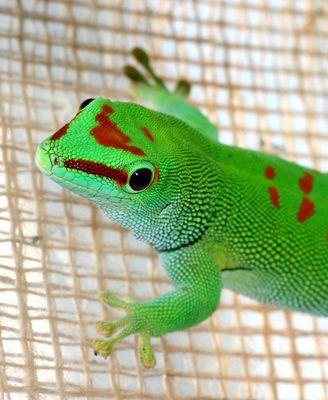 Madagaska Taggecko Ohne Saugfüsschen sondern mit Häärchen an den Füssen