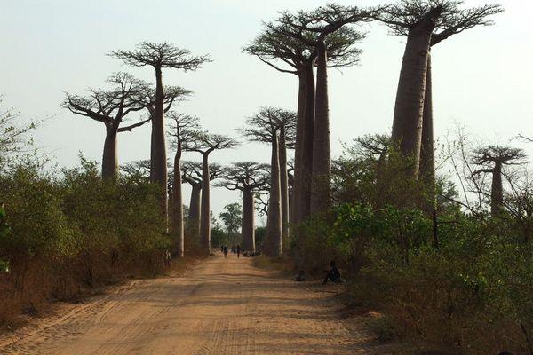 Madagaskar 2006, die Baobab Allee.