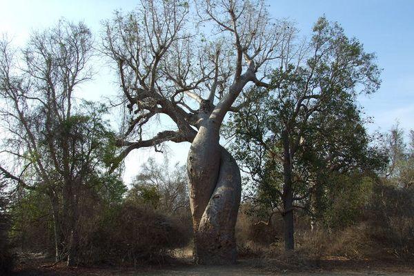 """Madagaskar 2006, """"Love Baobab"""""""