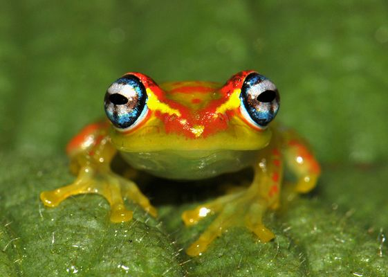 Madagaskar-Frosch