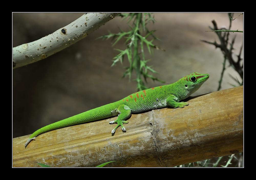 Madagaskar Taggecko #2