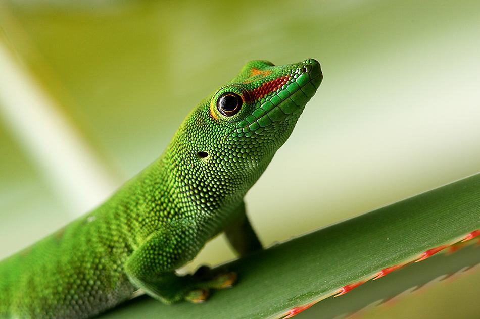 Madagaskar Taggecko (2)