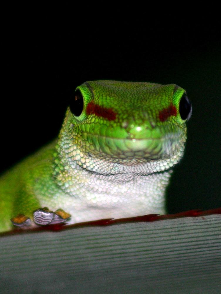 Madagaskar Taggecko