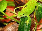 """Madagaskar Taggecko """"Frigg"""" 2"""