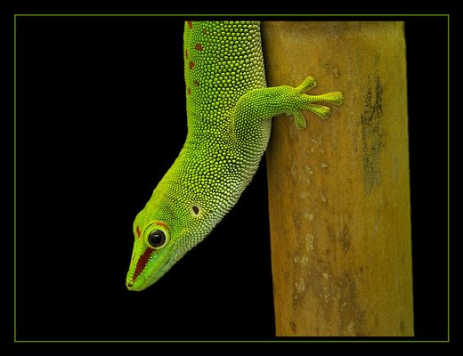 Madagaskar Taggecko VI