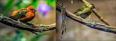 Madagaskarweber - Pärchen