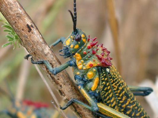 Madagassische Heuschrecke