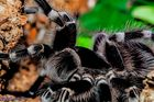 Madame Obscuria ( acanthoscurria geniculata )
