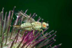 Madame Terellia tussilaginis (Tephritidae)