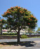 Madeira-36 afrikanischer Tulpenbaum