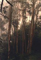Madeira  -Eukalyptus-Wald im Nebel-