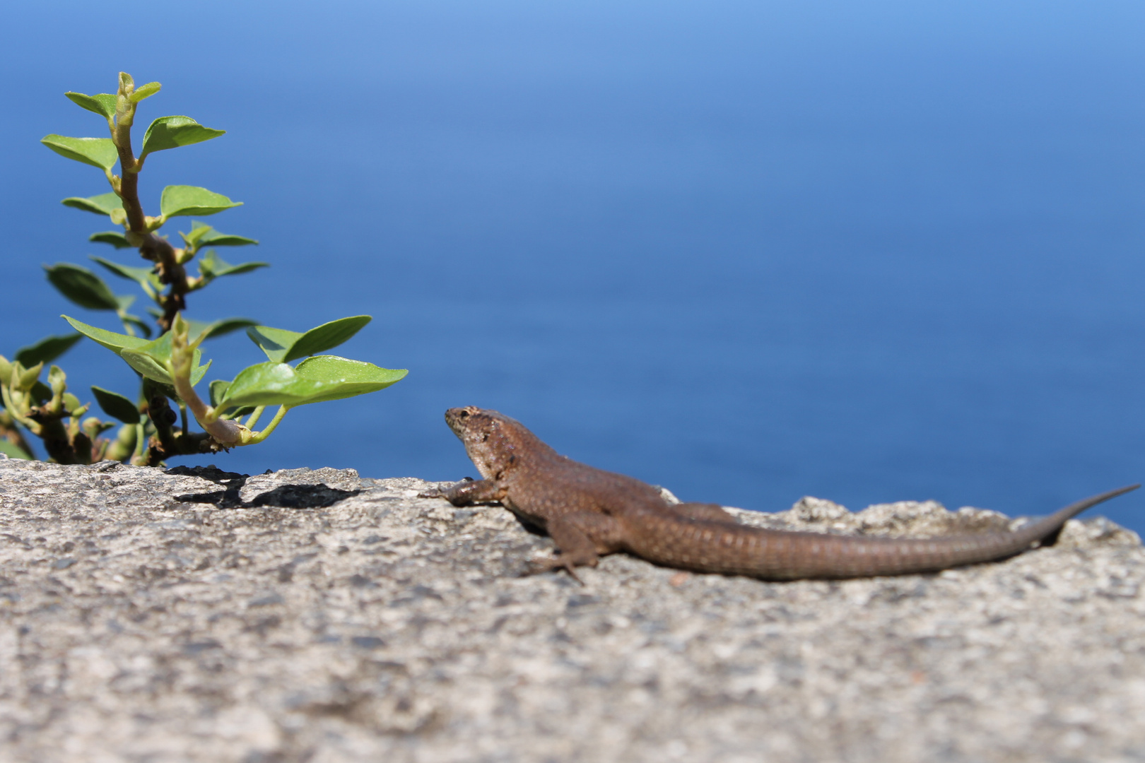 Madeira Gecko