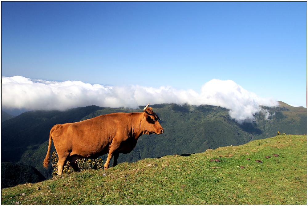 Madeira Kuh