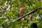 Madeirabuchfink