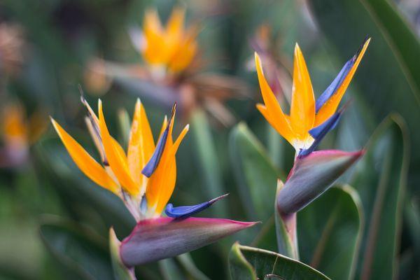 Madeiras Blüten