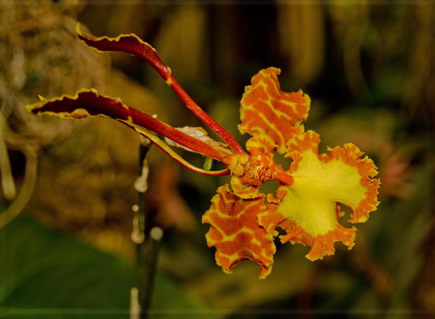 Madeira's Blüten (5)