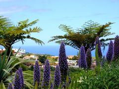 Madeiras Stolz - Blauer Madeira-Natternkopf, Echium candicans