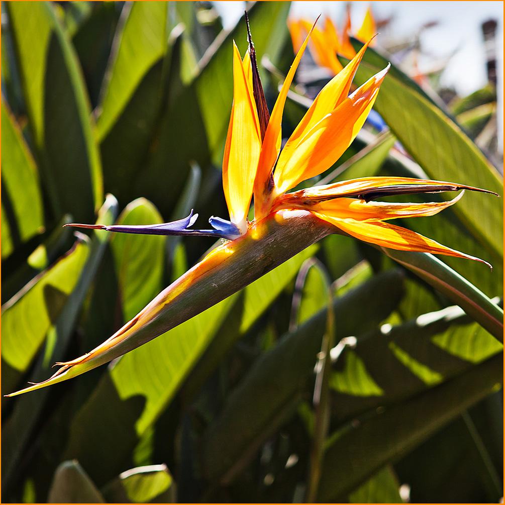 Madeiras Wappenblume-Die Strelitzie