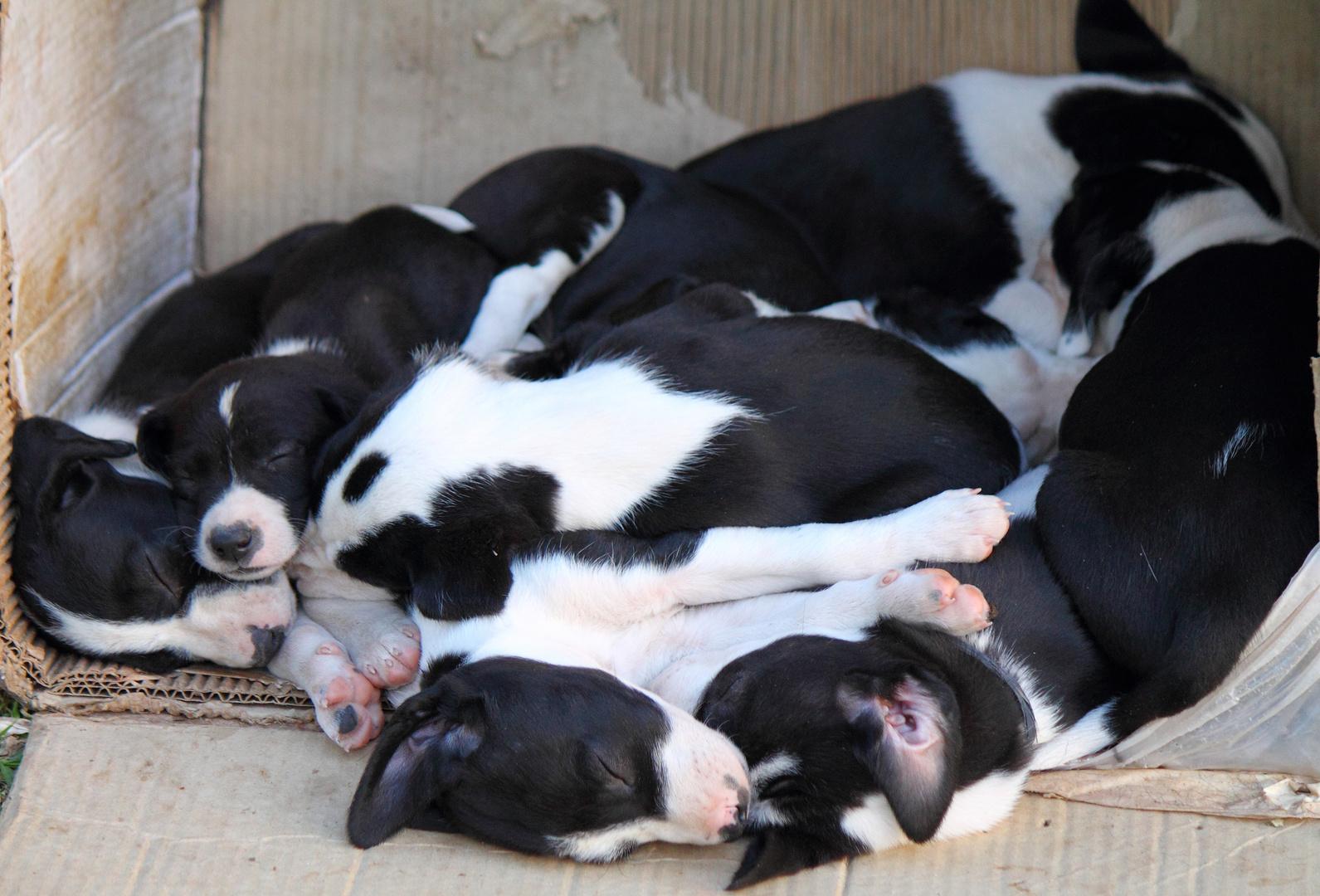 Madeja de perritos