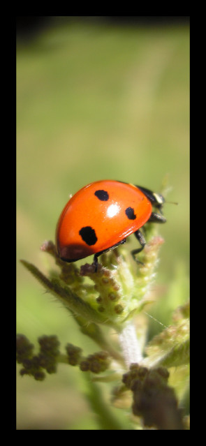 Mademoiselle Coccinelle