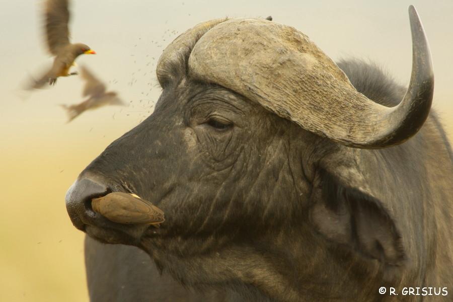 Madenhacker befreien Kaffernbüffel von Ungeziefer