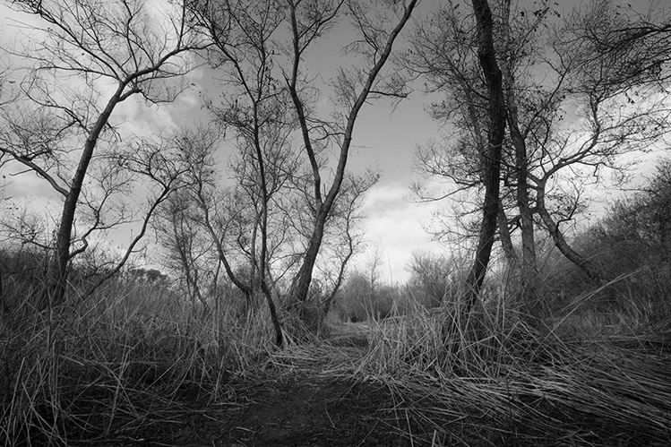 Madrona Marsh Trees No 6