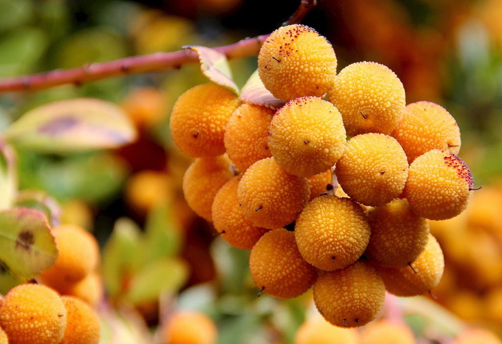 Madroños en otoño