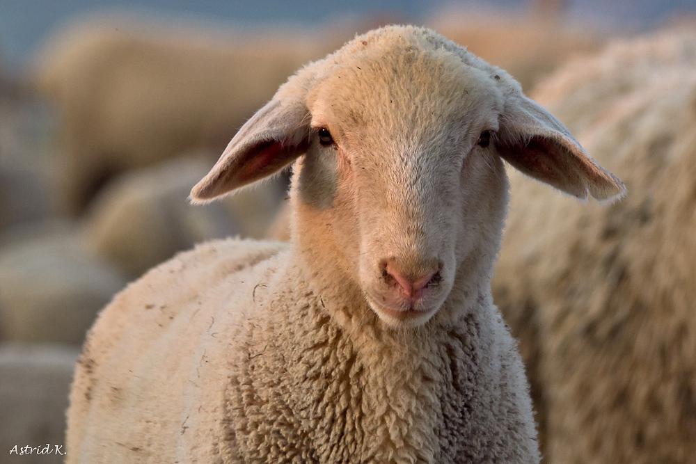 Määh ihr Schafe.......