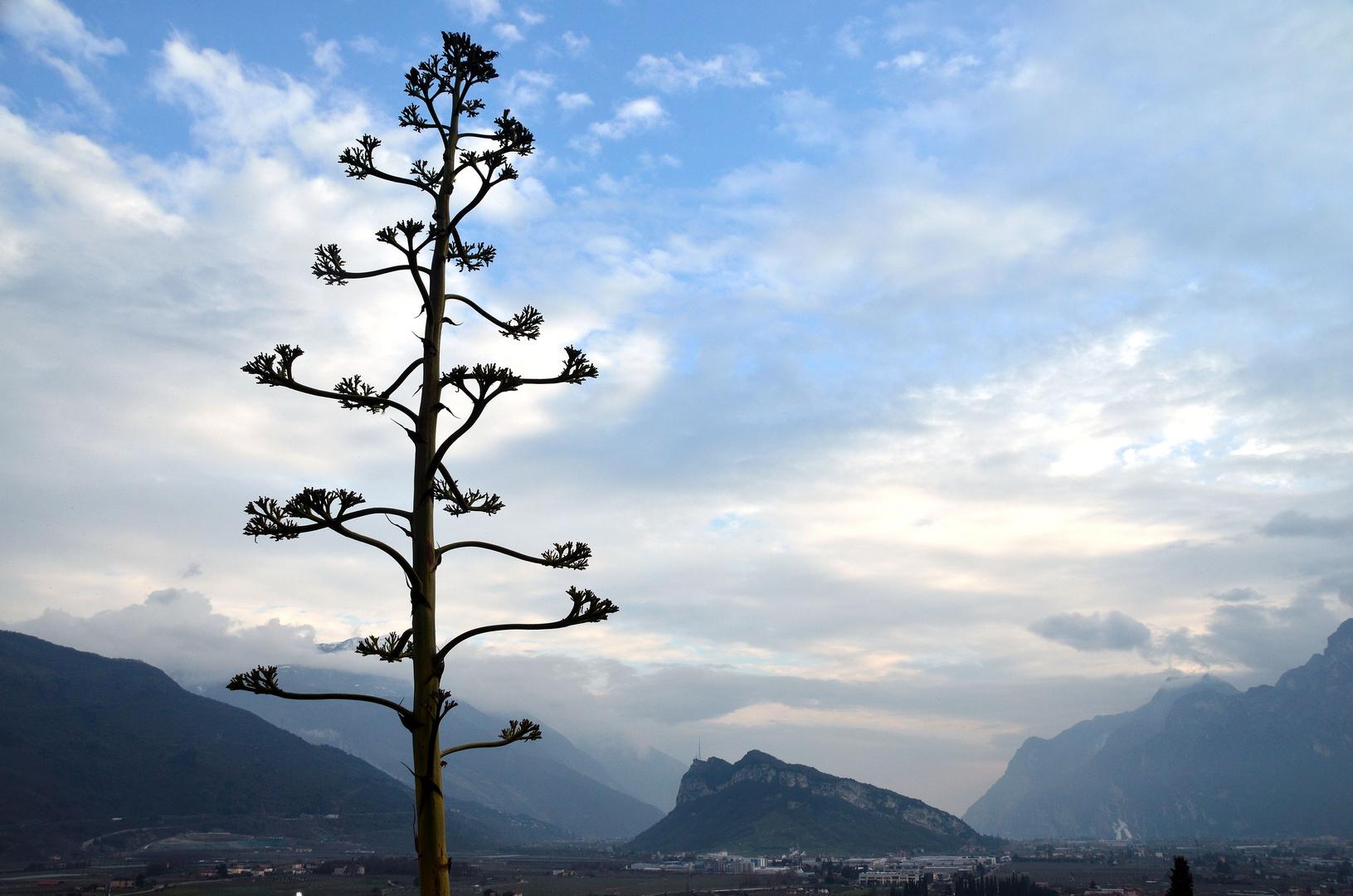 Mächtige Agave vorm Monte Brione
